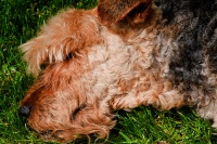 Ado - Welsh terrier